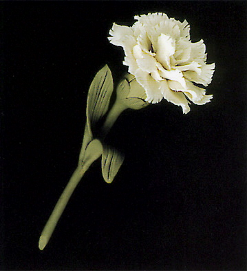 White Carnation With Base Lladro Figurine